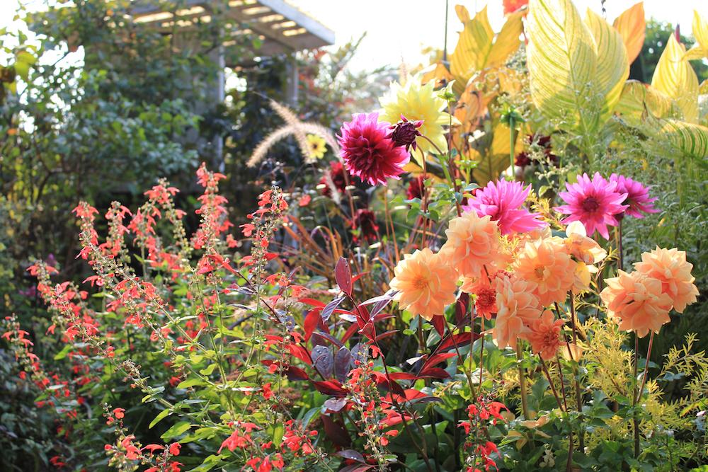 ダリアやカンナ'バンコック'や'ワイオミングの花壇