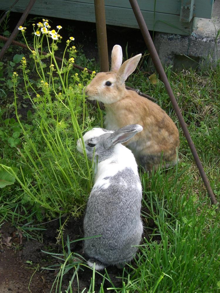 ガーデンで遊ぶミニウサギ