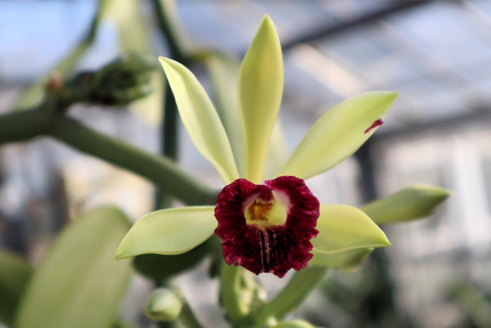 インペリアルバニラ(Vanilla imperialis)
