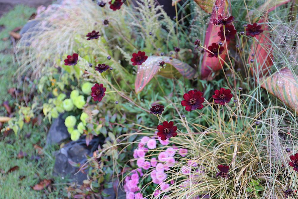 グラス類とチョコレートコスモスの花壇