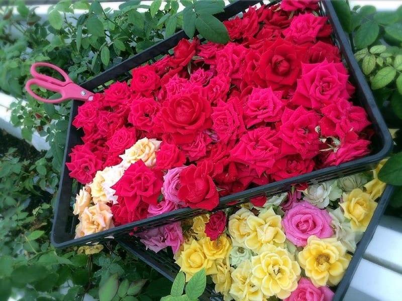 バラの花びらにはビタミンAやビタミンCなどのビタミン群や、ポリフェノール、食物繊維など、美容に嬉しい栄養素が含まれている