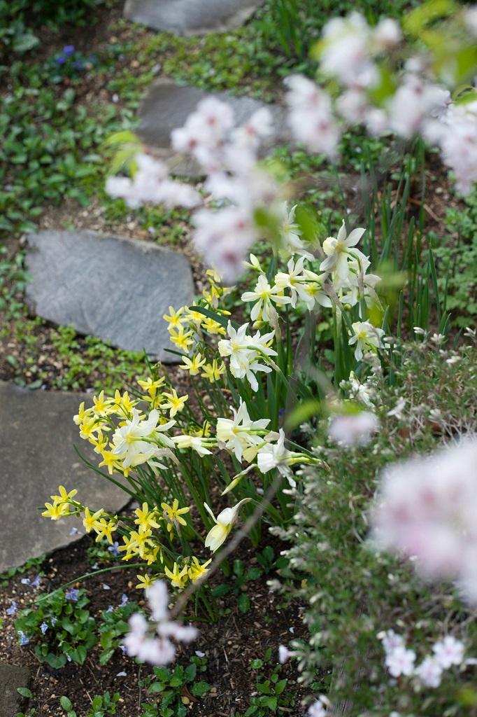 スイセンの咲く庭