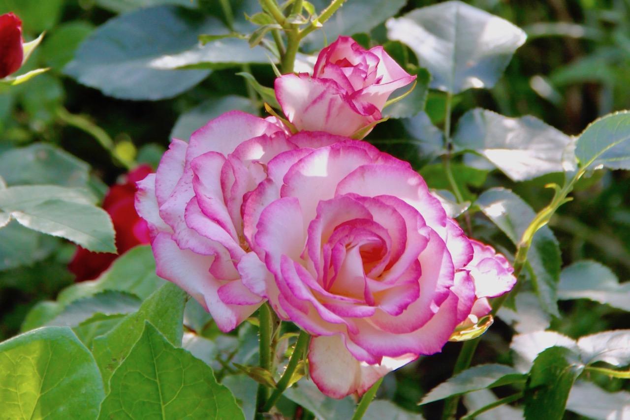 覆輪のバラ ニコル