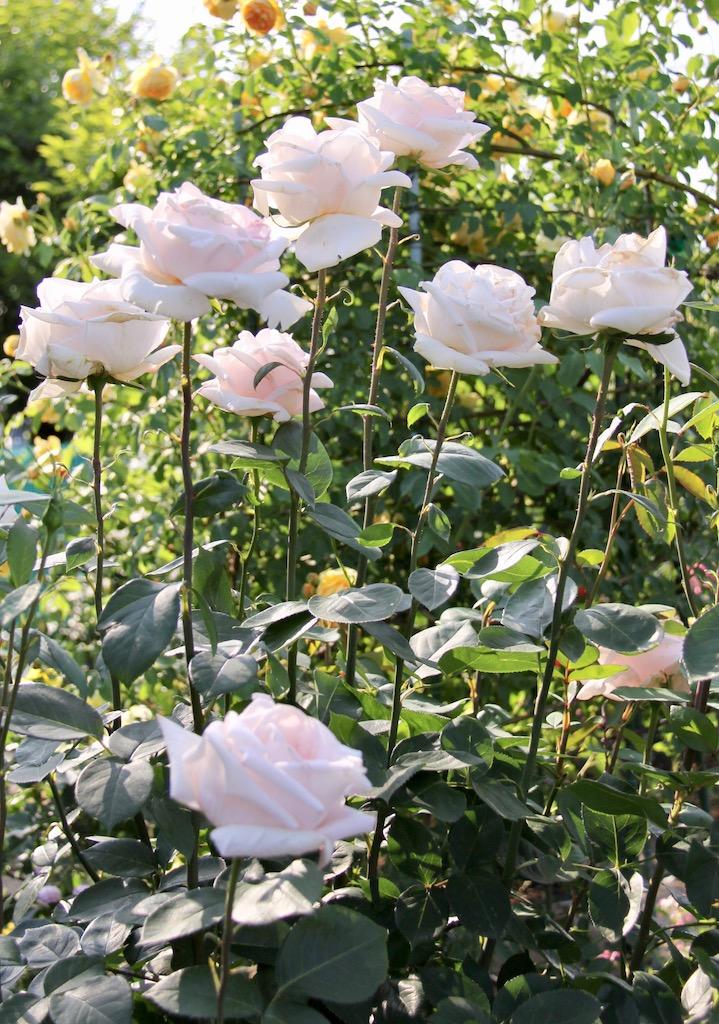 一輪咲きのバラ