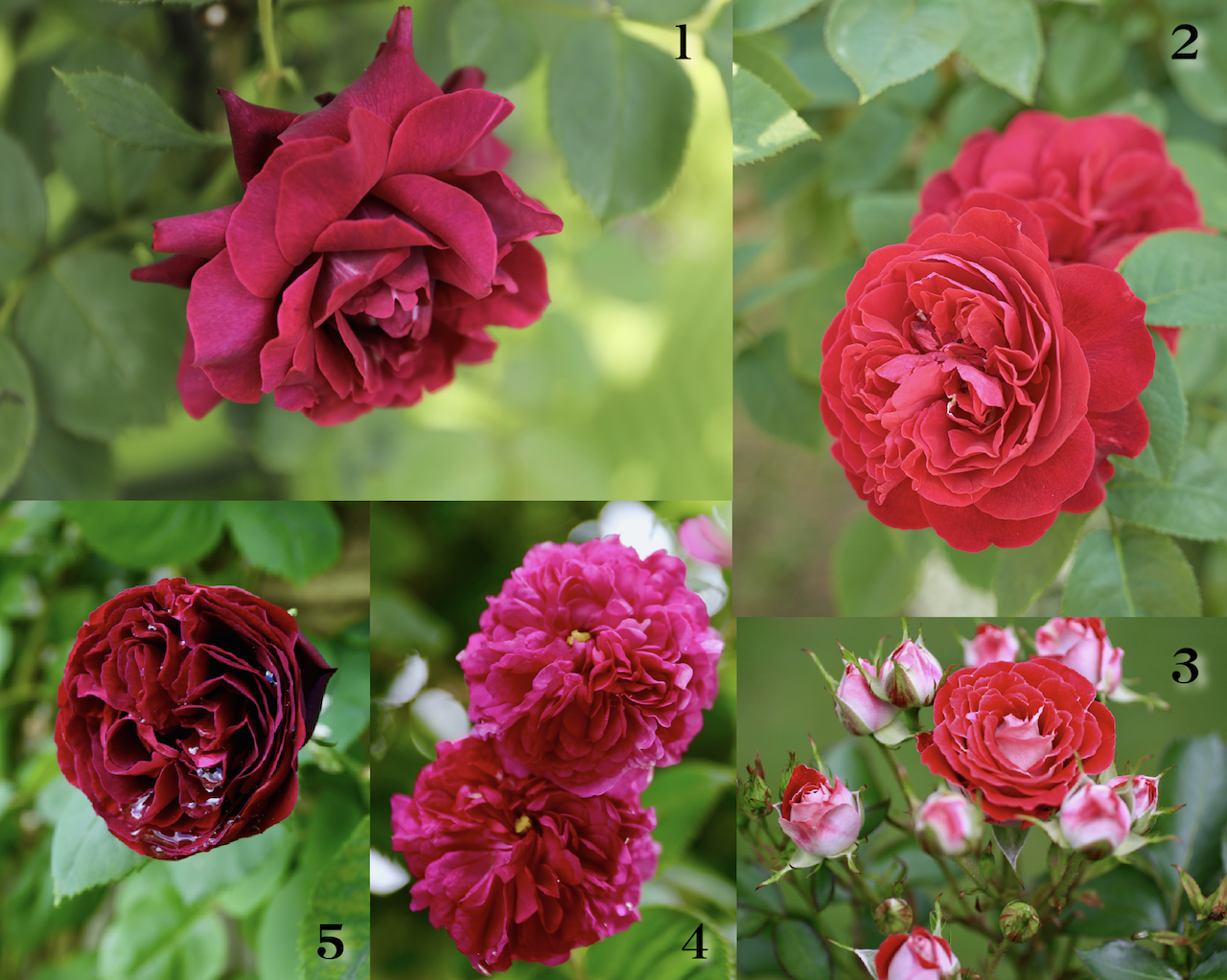 花 言葉 薔薇 赤い