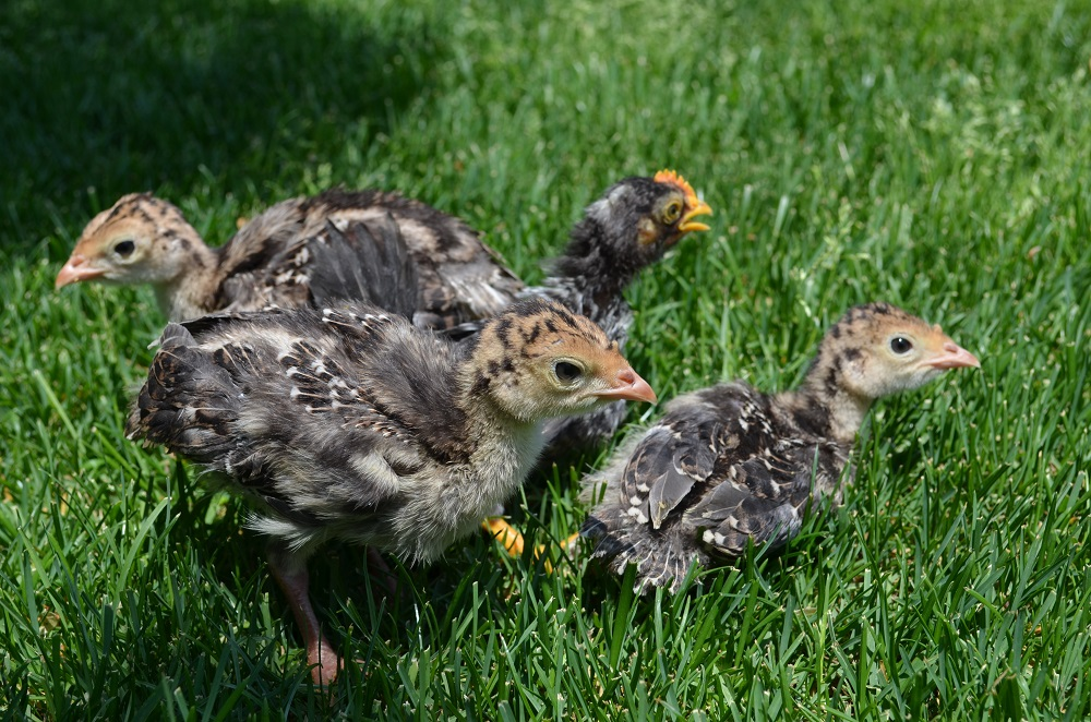 七面鳥と鶏のヒナ