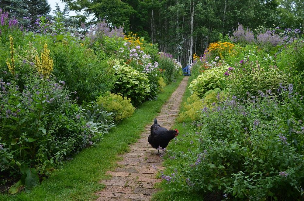 上野ファームの鶏