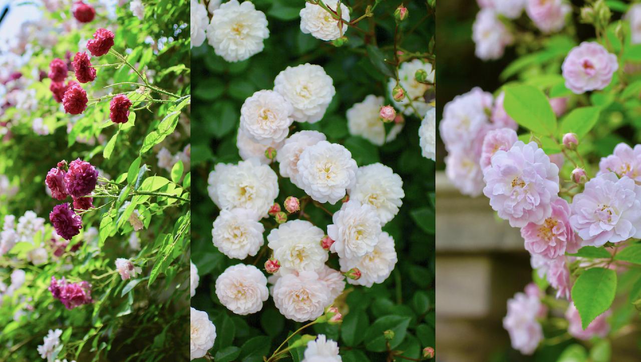ポンポン咲きのバラ