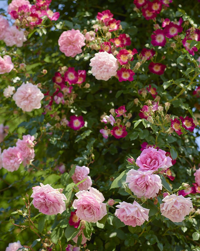 一重咲きと八重咲きのバラ