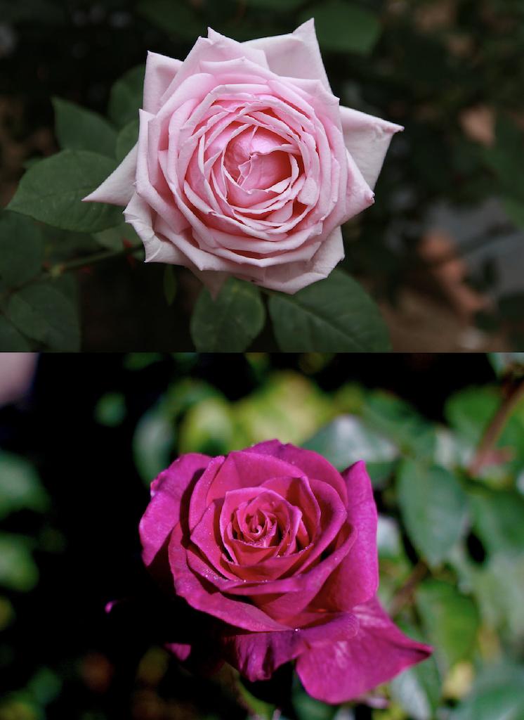 抱え咲きのバラ
