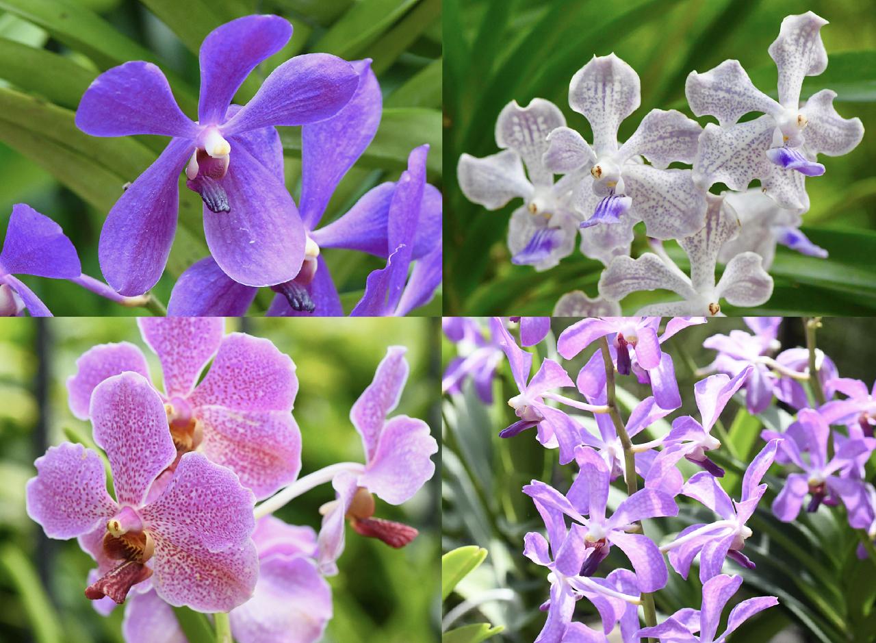ラン バンダの仲間の花