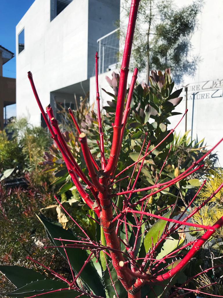 アケル '珊瑚閣'の赤枝