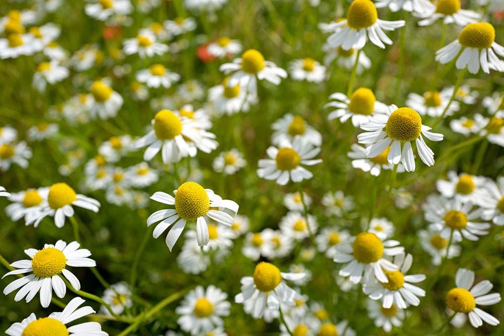 ジャーマンカモミールの花
