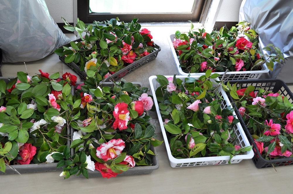 ツバキの切り花