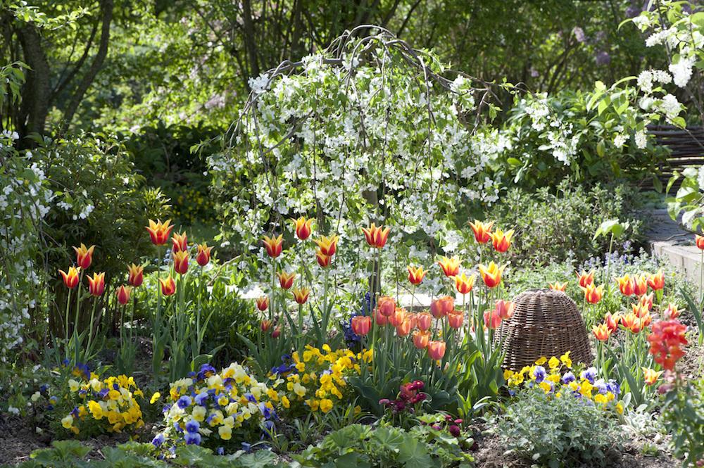 チューリップの咲く春花壇