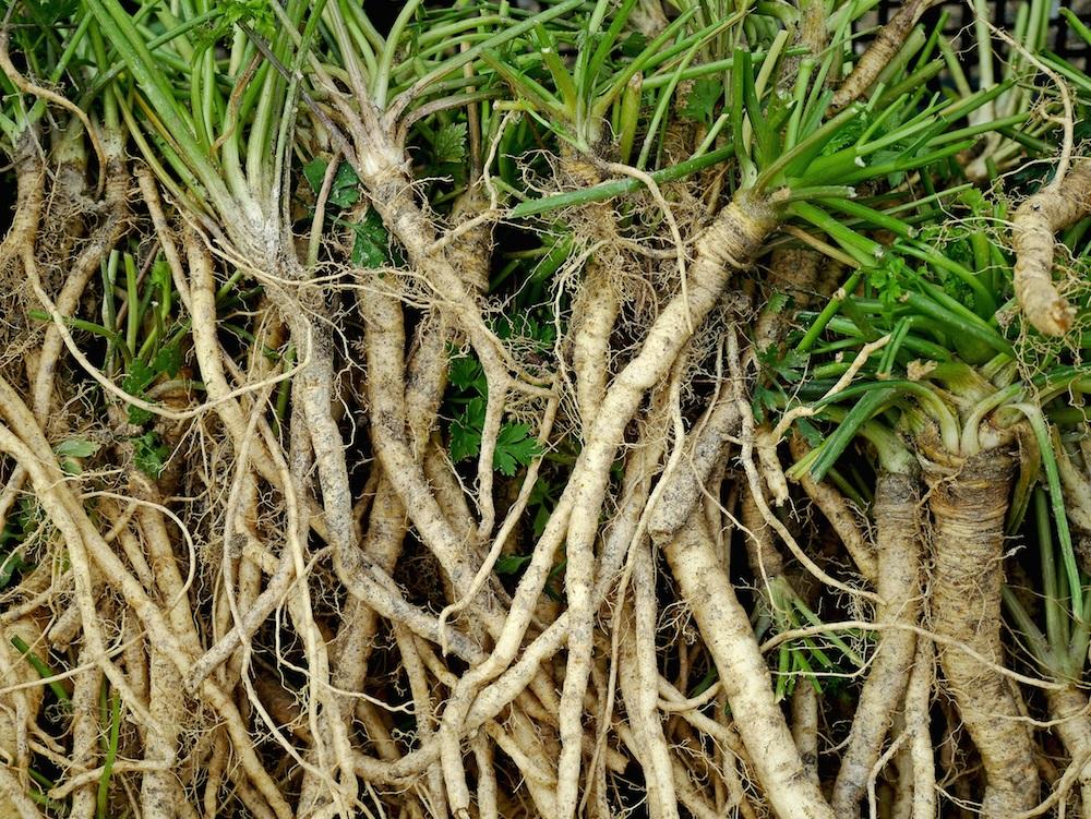直根性の植物