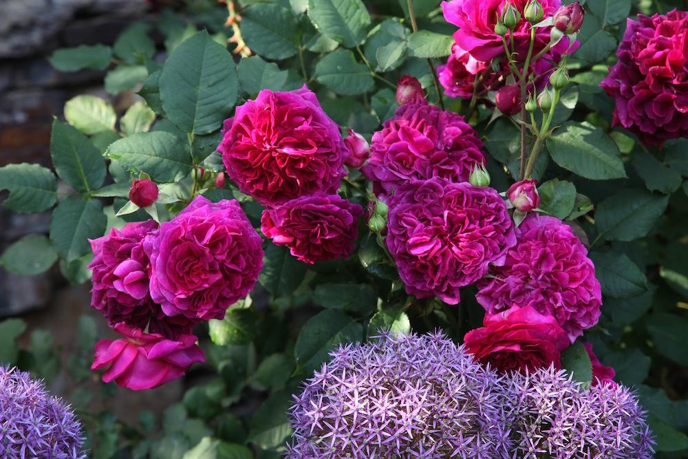 デビッド・オースチンのバラ 'ムンステッド・ウッド'