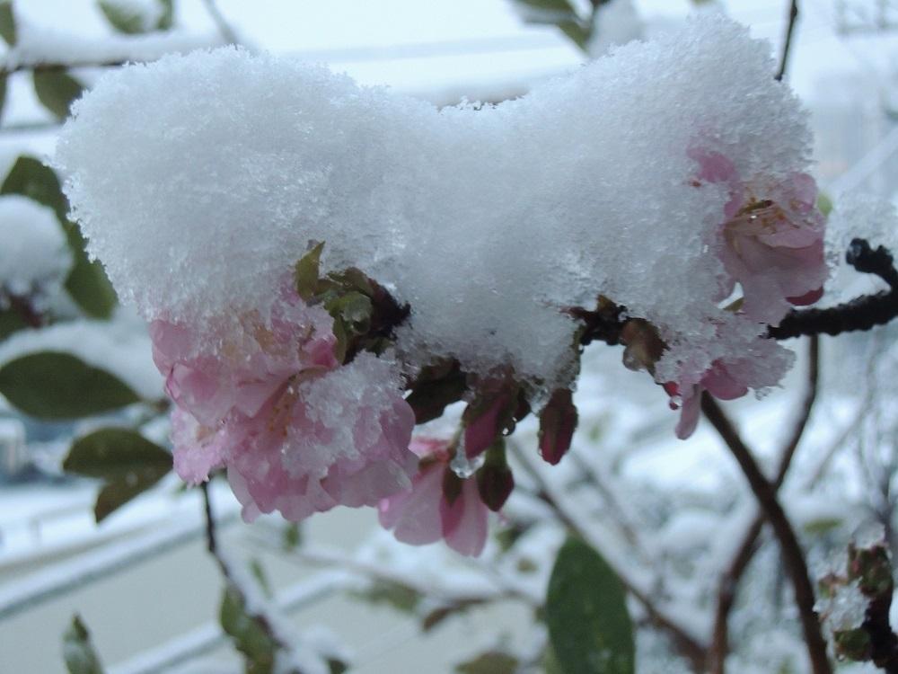 雪をかぶって咲くサクラ