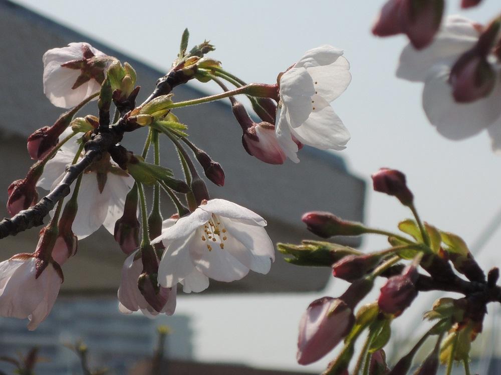 鉢植えの染井吉野