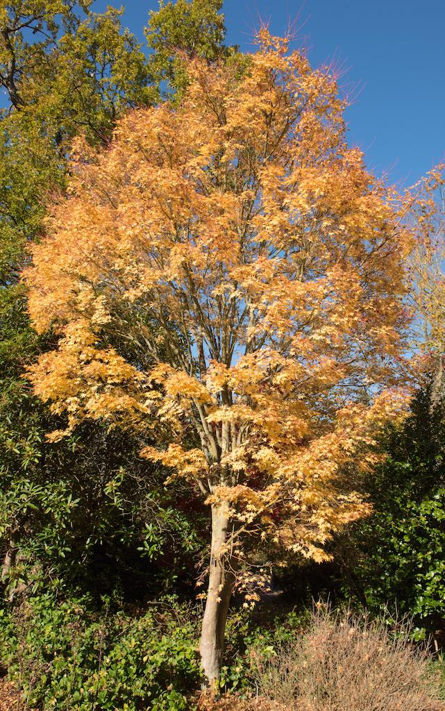 アケル '珊瑚閣' の秋の黄葉