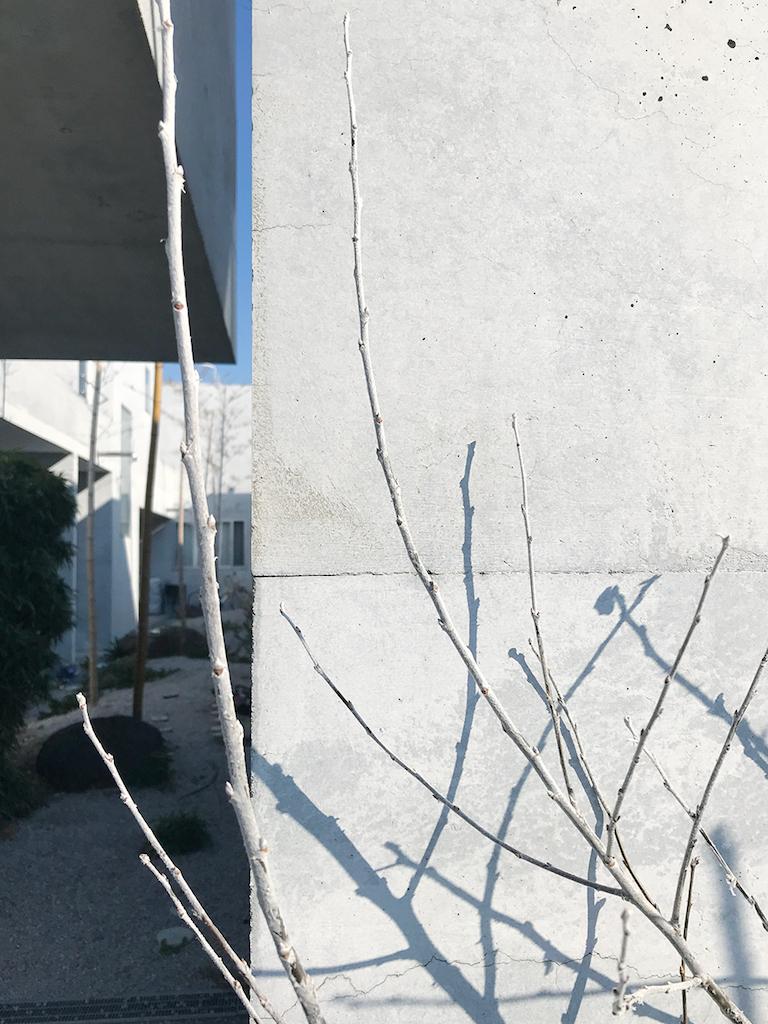 ギンドロの枝