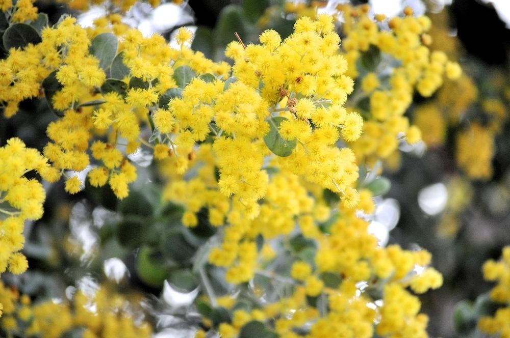ミモザ(ギンヨウアカシア)の花