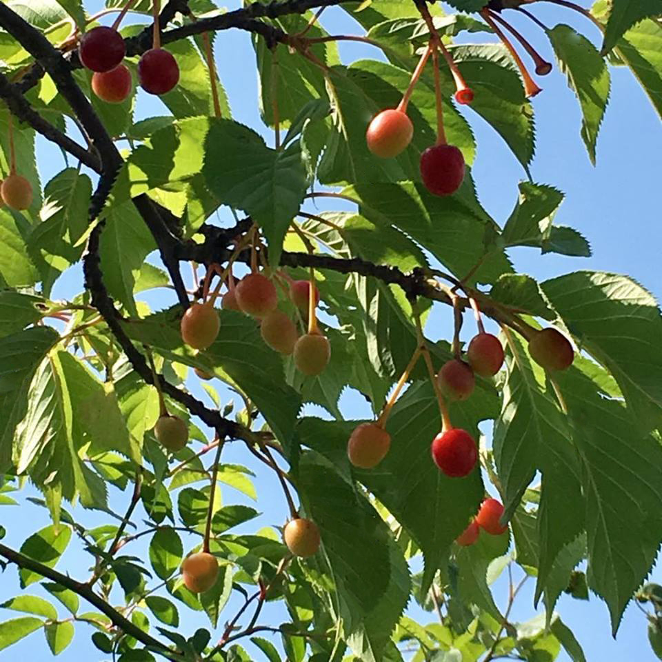 河津桜の実