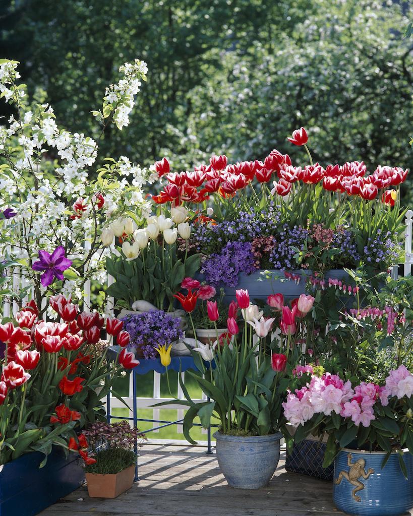 ベランダに咲くチューリップなどの球根花