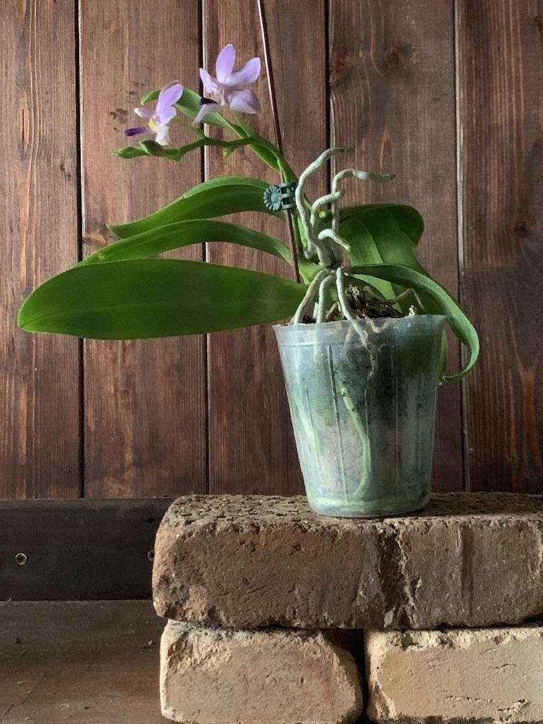 """コチョウラン(ファレノプシス)ケネス・シューバート'タイワンバイオレット' (Phalaenopsis Kenneth Schubert """"Taiwan Violet"""")"""