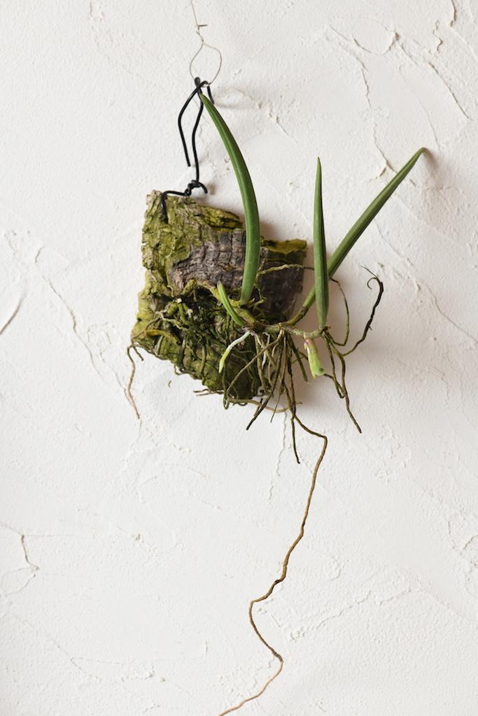 ドックリリア・ワッセリー(Dockrillia wassellii)