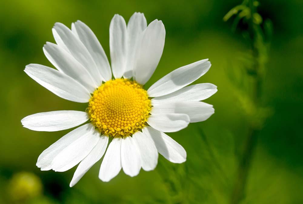 ローマンカモミールの花