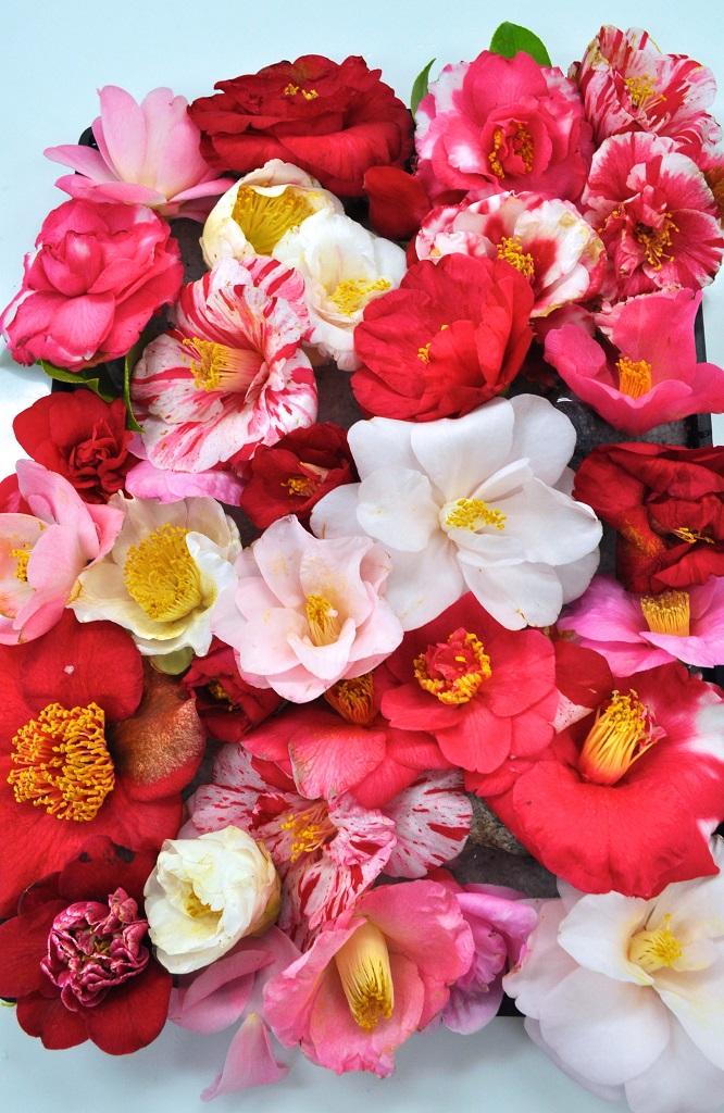 ツバキのさまざまな花