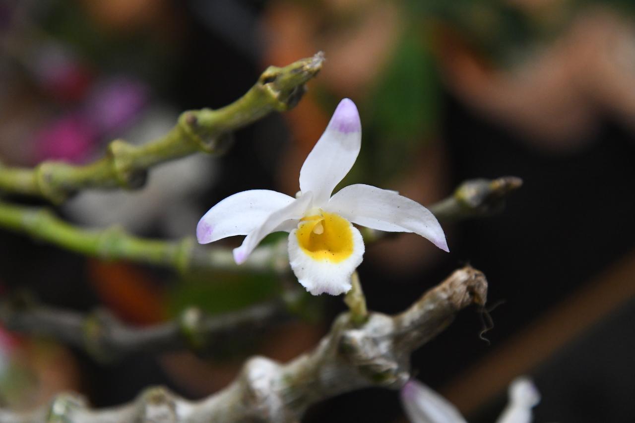 デンドロビウム・ペンデュラム(Dendrobium pendulum)の花