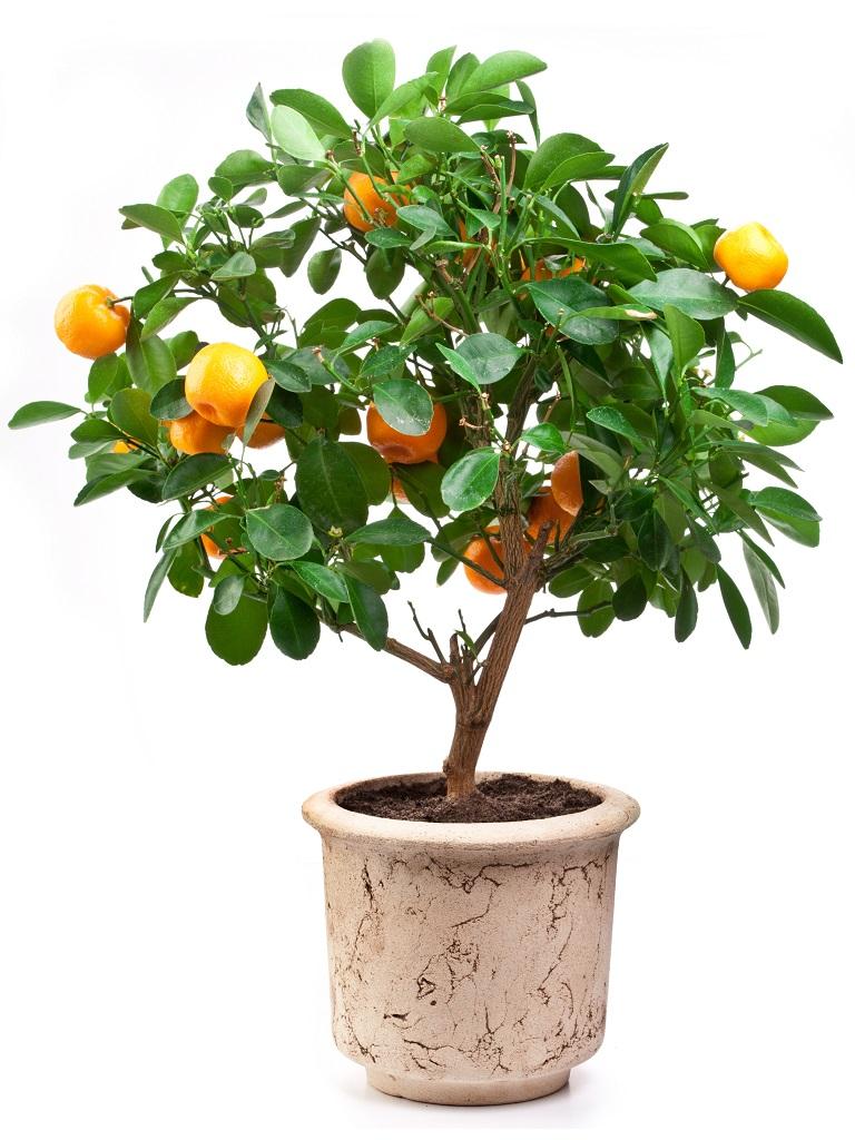 柑橘類の鉢植え