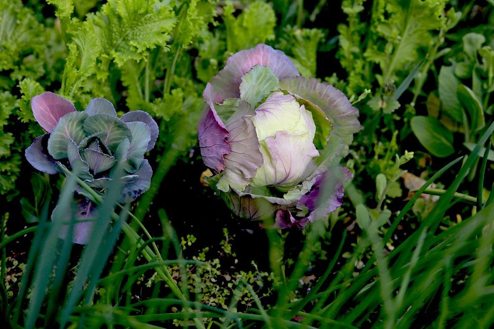 家庭菜園の春キャベツ