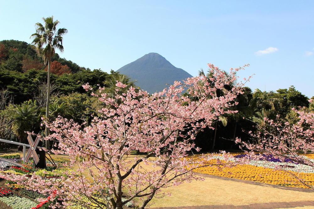 早咲きのサクラ イズノオドリコ