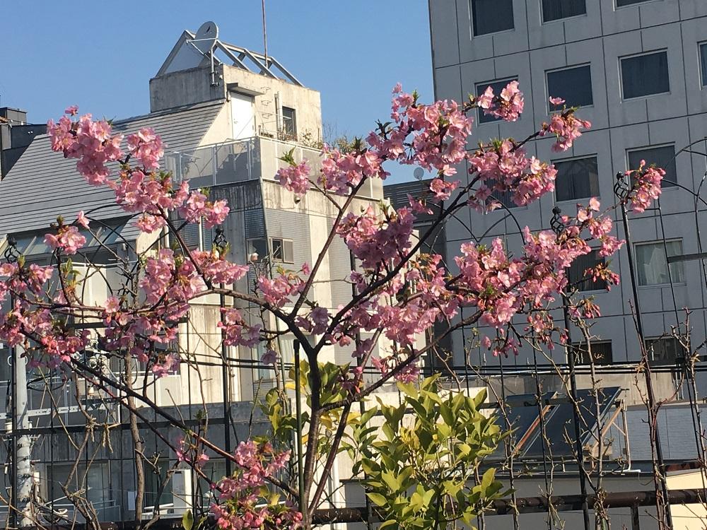 バルコニーの河津桜