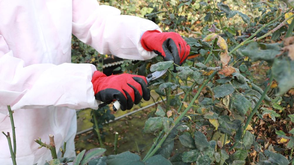 食べられるバラ栽培地レポート-剪定作業