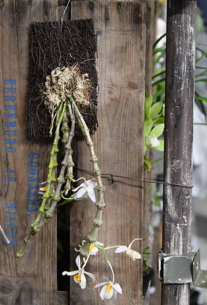 デンドロビウム・ペンデュラム(Dendrobium pendulum)