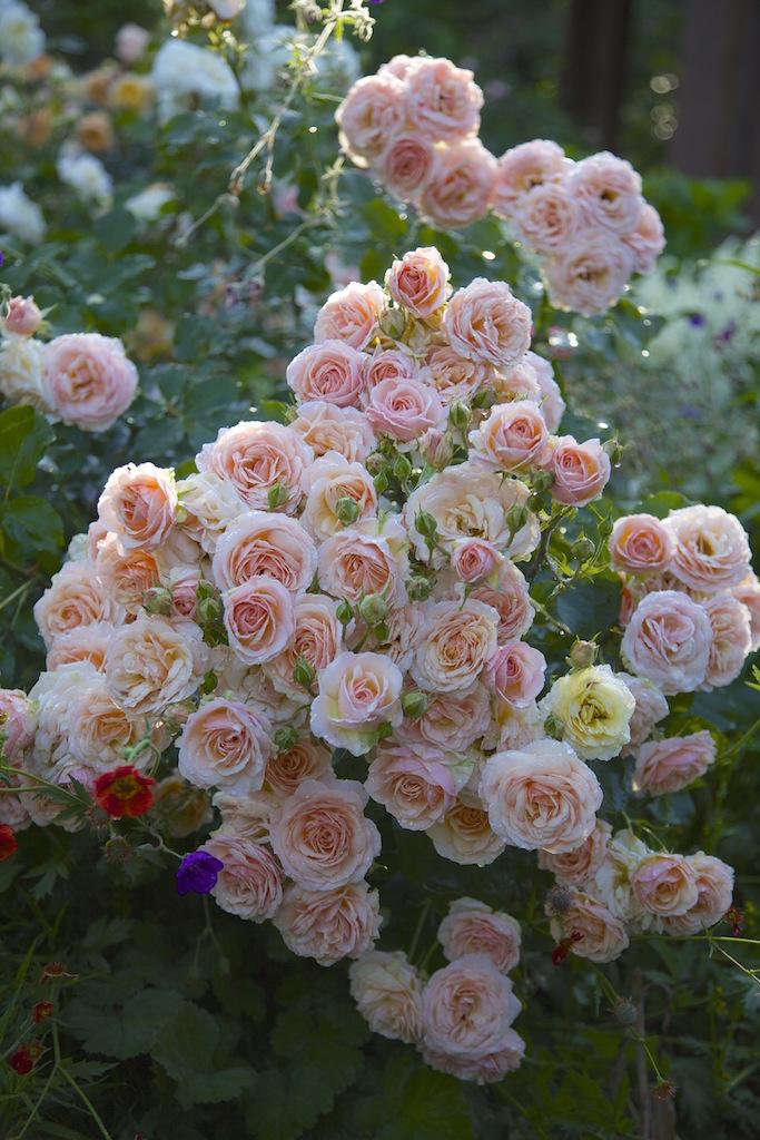ハークネス作出のバラ'カリオペ'