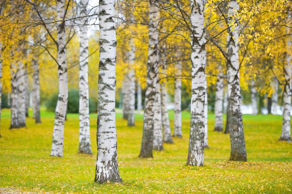 ベツラの黄葉と白幹