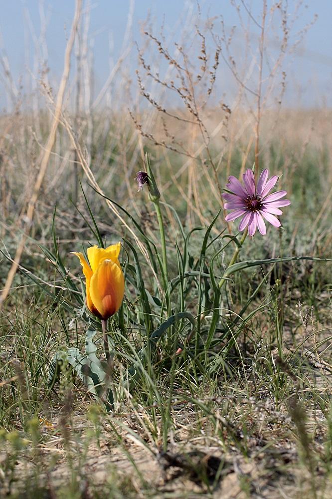 自生地に咲く原種チューリップ
