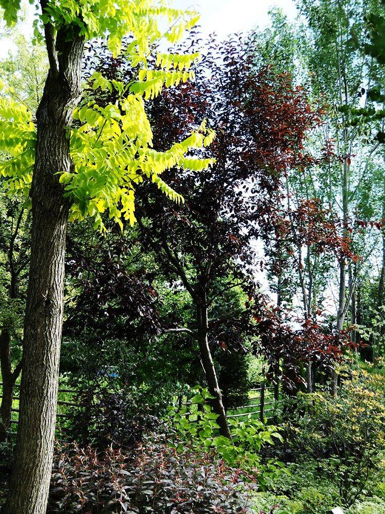 プルヌス・ヴァージニアナ 'ベイリーズセレクト'植栽例