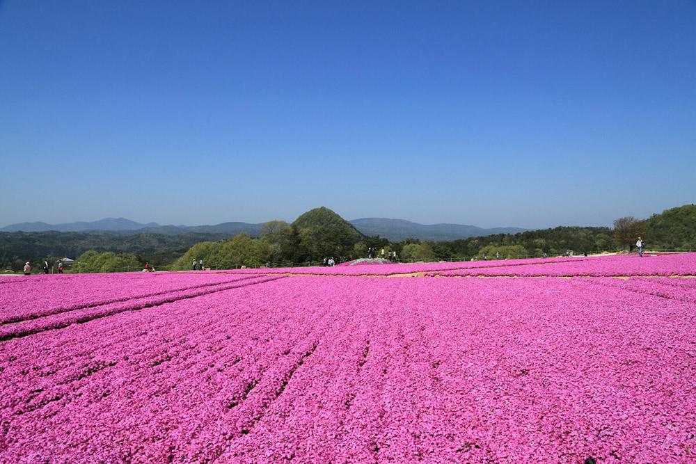 「Flower village 花夢の里」芝ザクラのカーペット