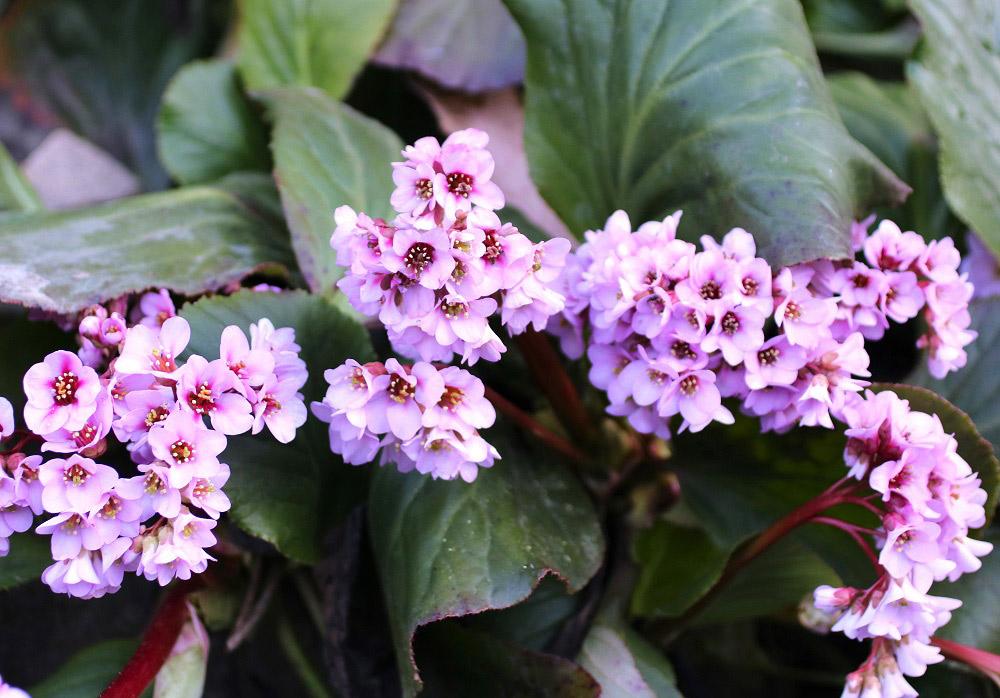春咲くヒマラヤユキノシタ