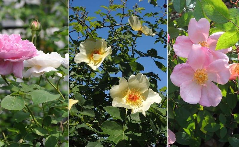 早咲きのバラ