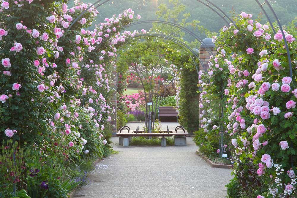 国営越後丘陵公園 香りのばら園