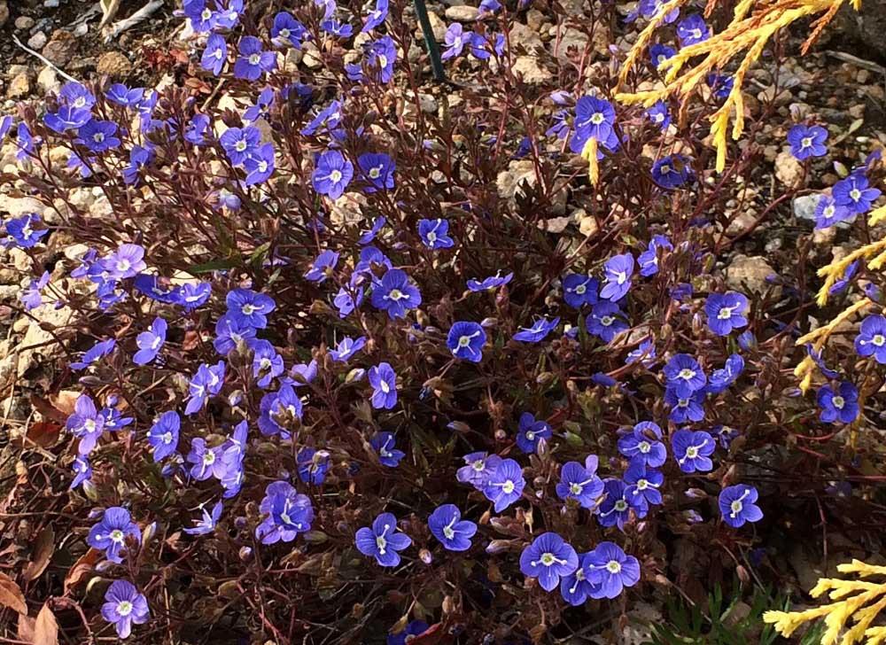 春咲くベロニカ'オックスフォード ブルー'
