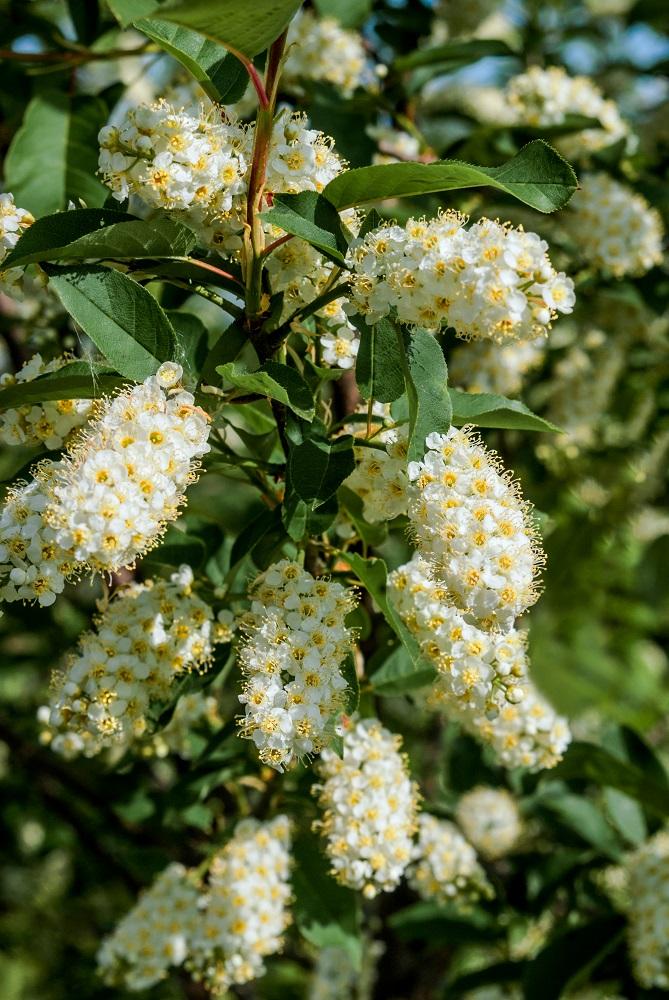 'ベイリーズセレクト'の花