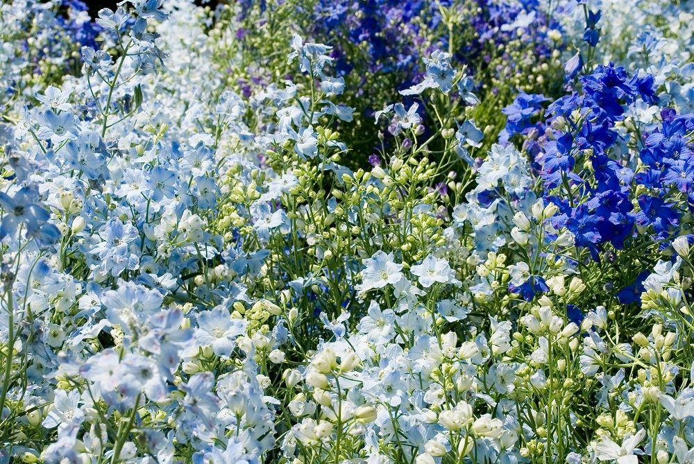 デルフィニウムの花